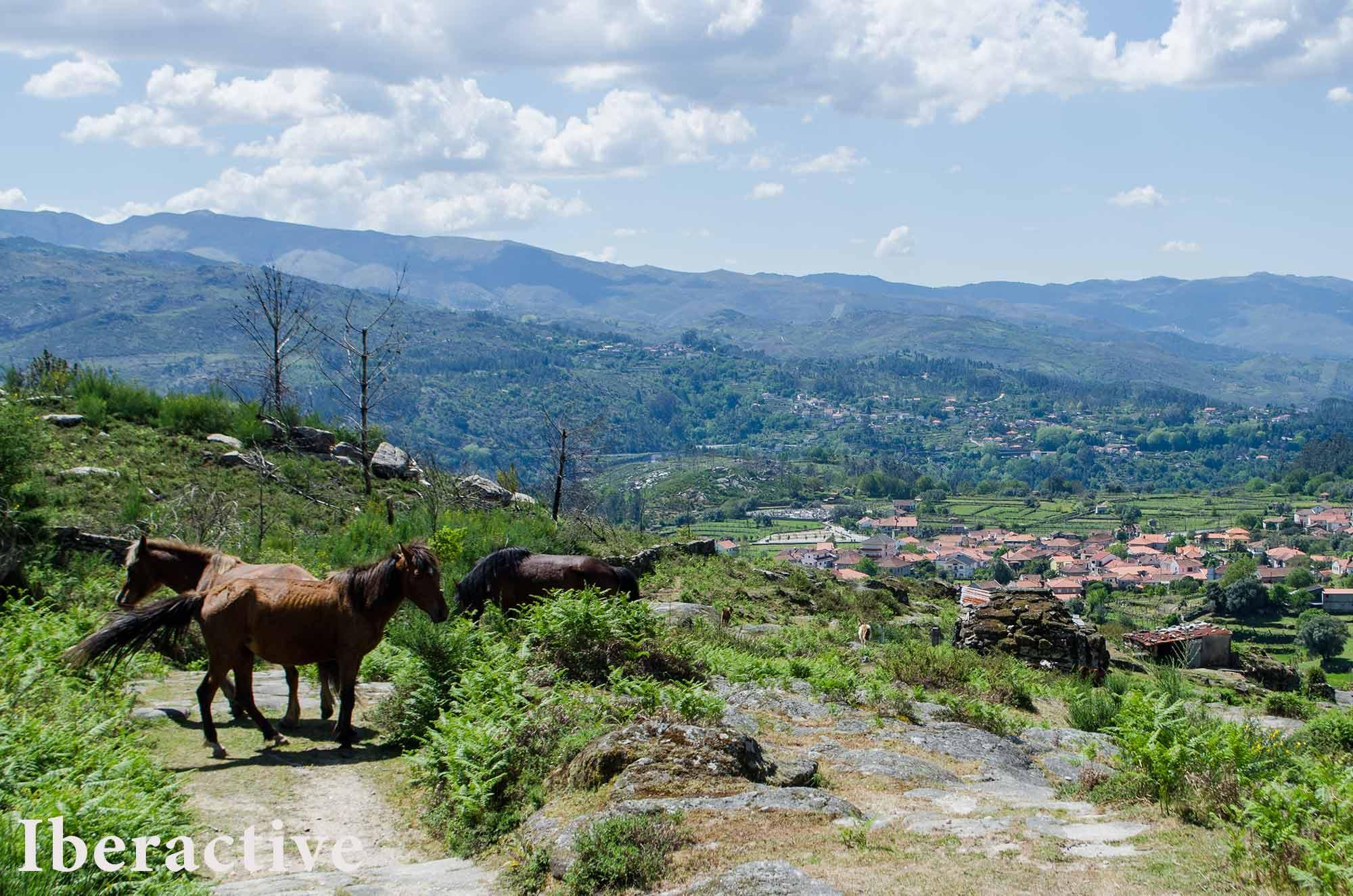 Garrano horses at Peneda-Gerês National Park, Portugal